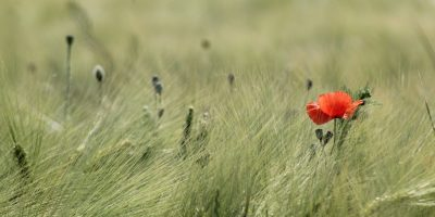 ble-coquelicot-ligue-Brest-Finistere